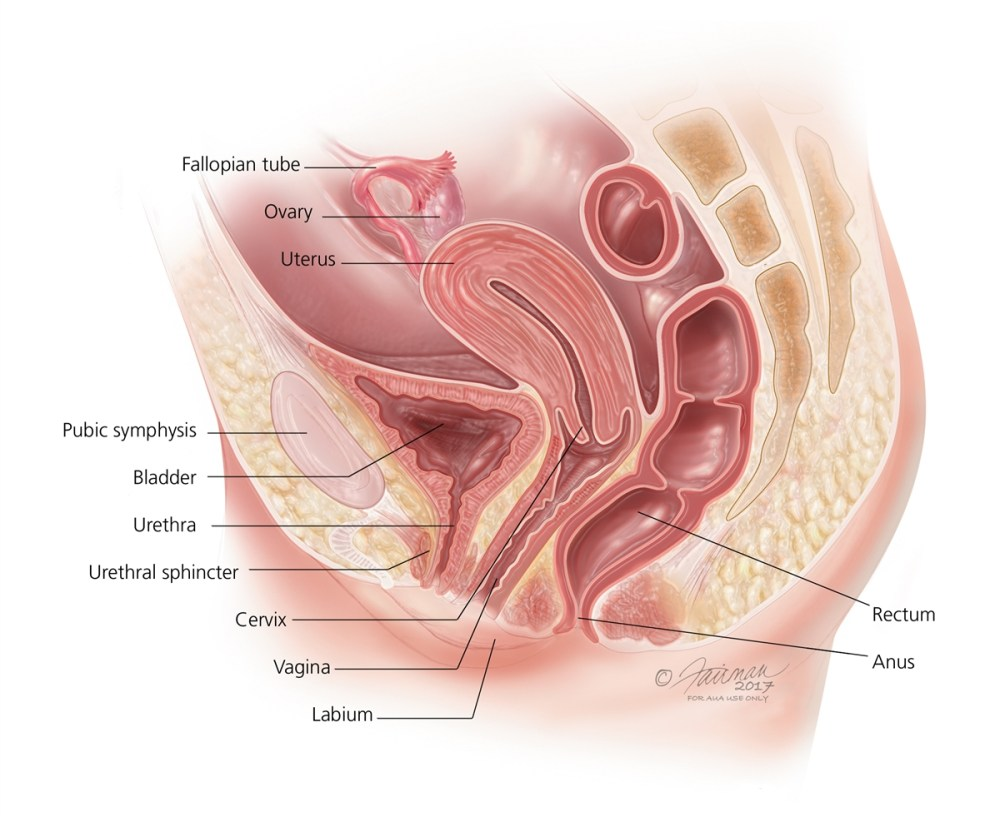 medium resolution of female reproductive system