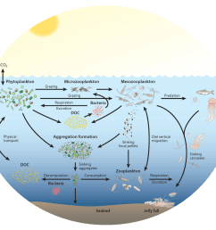 zooplankton play a key and diverse role in the ocean carbon cycle [ 975 x 862 Pixel ]