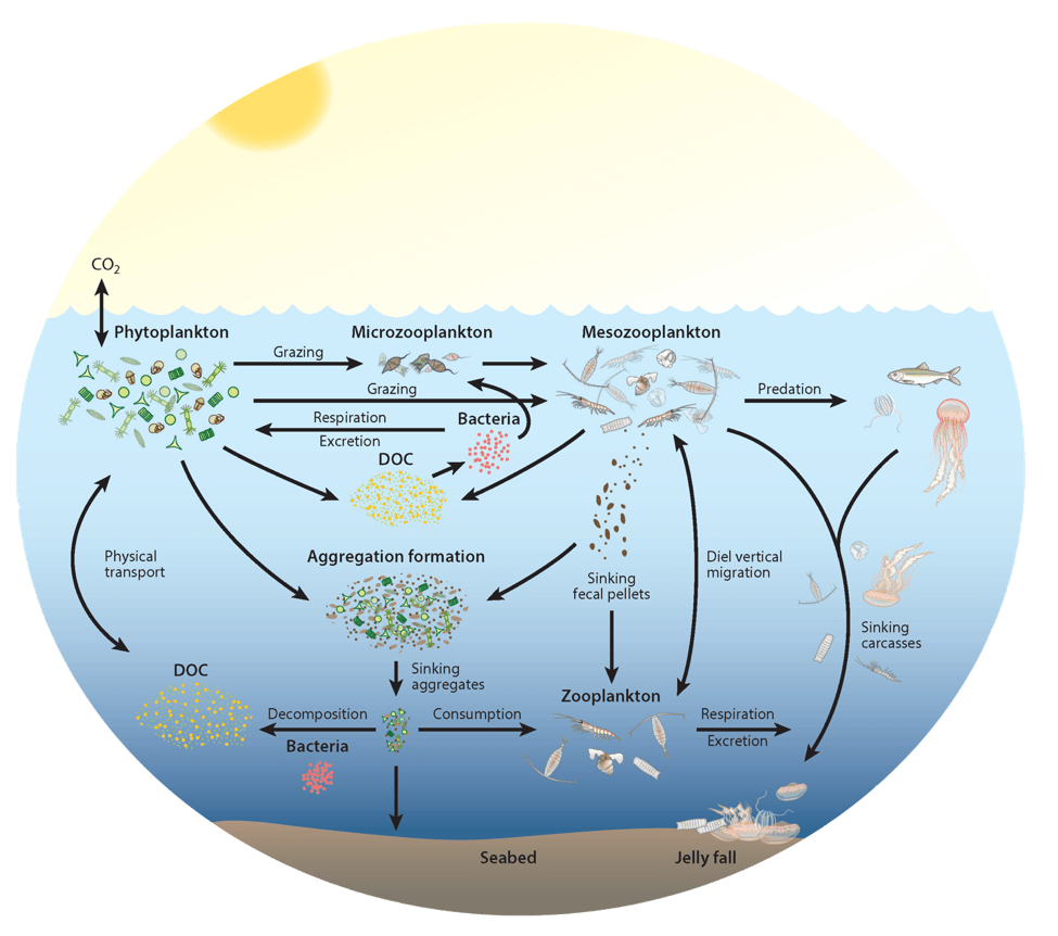 hight resolution of zooplankton play a key and diverse role in the ocean carbon cycle