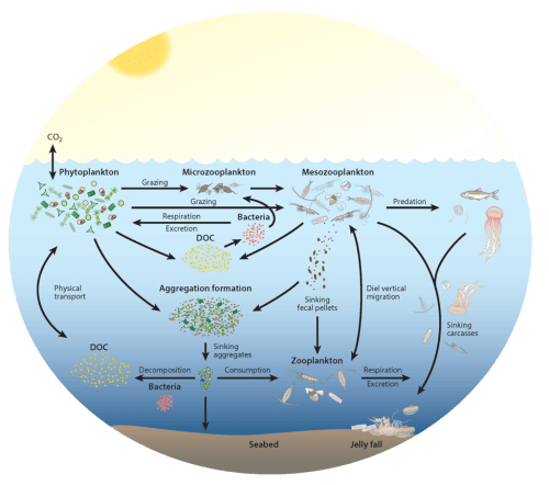 small resolution of zooplankton play a key and diverse role in the ocean carbon cycle