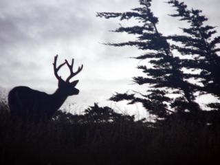 Buck at Dusk