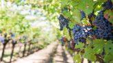 Blaue Weitrauben im Napa Valley, Kalifornien