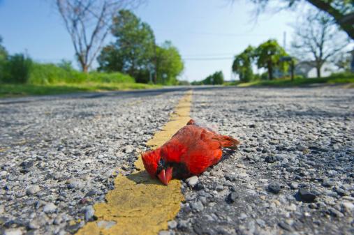 Dead Northern Cardinal bird on a road