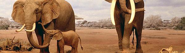 Elephants Never Forget?
