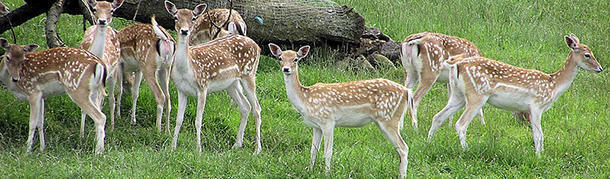 The smallest type of deer is as tall as a ruler