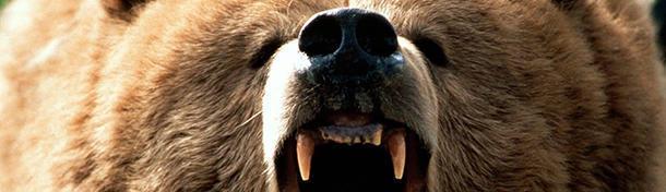 A bear has 42 teeth