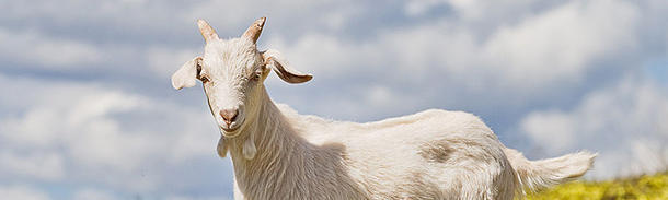 Which French word means 'jump like a goat'?