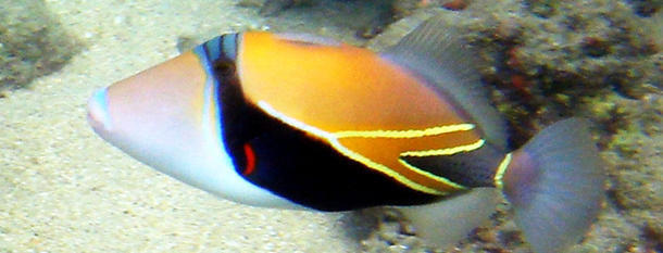 tag reef triggerfish useless daily the amazing facts news