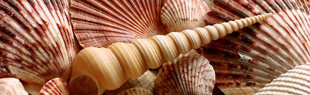 Do shells actually sound like the ocean?