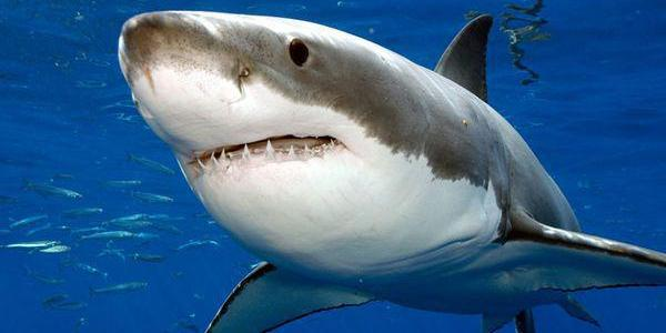 In which kind of music are the Great White Sharks attracted to?
