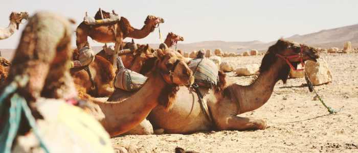 35 facts about camels!