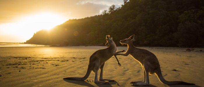 35 amazing facts about kangaroos!