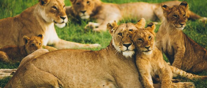 31 facts about lions!