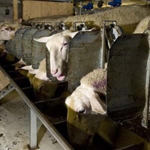 Комбикорм для овец  ОК-80