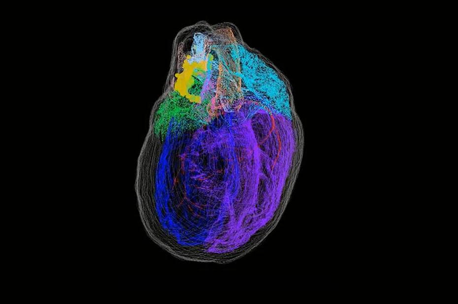 Pour mieux comprendre les maladies cardiaques, des chercheurs modélisent le cœur en 3D