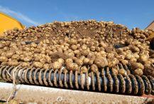 La pomme de terre a souffert des mauvaises conditions climatiques