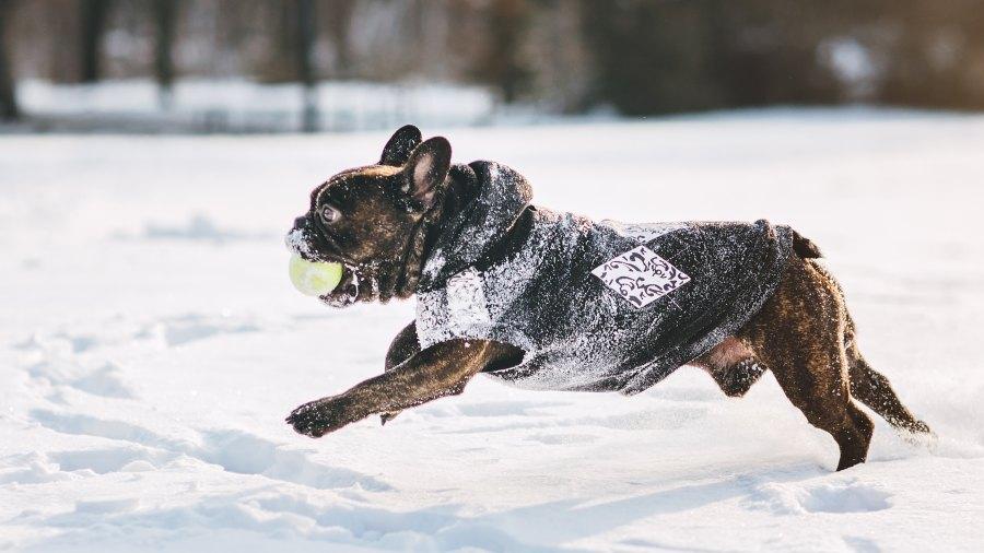 French bulldog running on snow