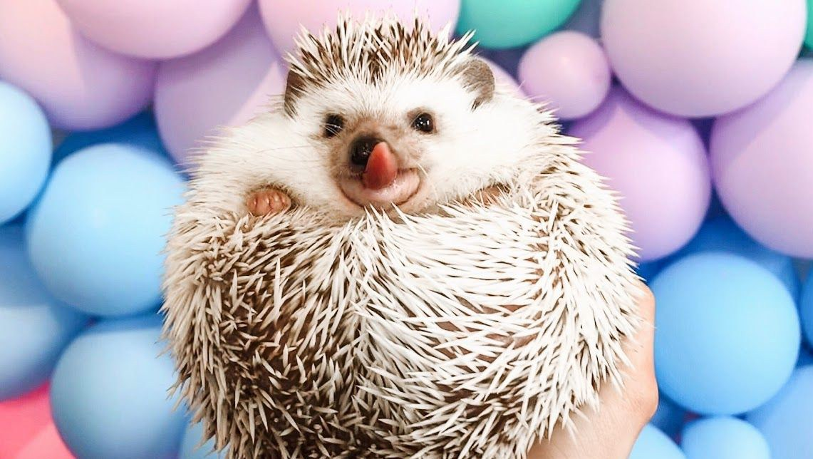 Lionel-the-Hedgehog-cannonborough_collective