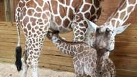 april-giraffe-animal-adventure-45701ea5-6b2d-4fbb-a066-ec3c04ac729d