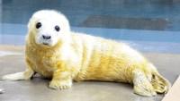 Female gray seal pup, born Jan. 21 at 12:43 a.m. to mother Kara.