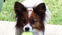 Tiny papillon dog mini meals