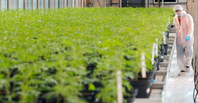 Pot stocks are getting killed again, Aurora Cannabis drops 14% in US trading debut 1