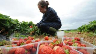 Coronavirus: Thousands apply for fruit and veg grower jobs 1