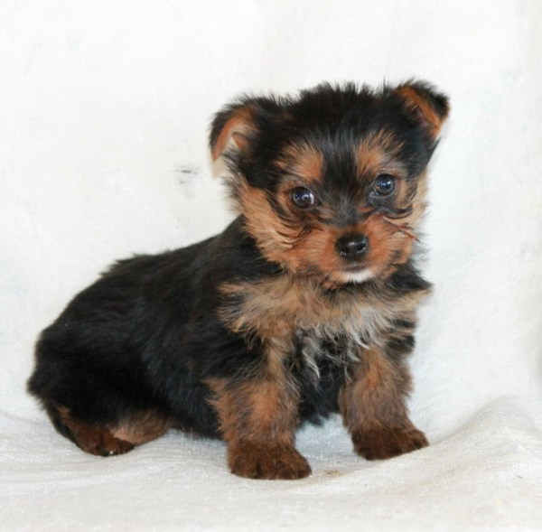 Free Yorkie Puppies For Adoption - Year of Clean Water