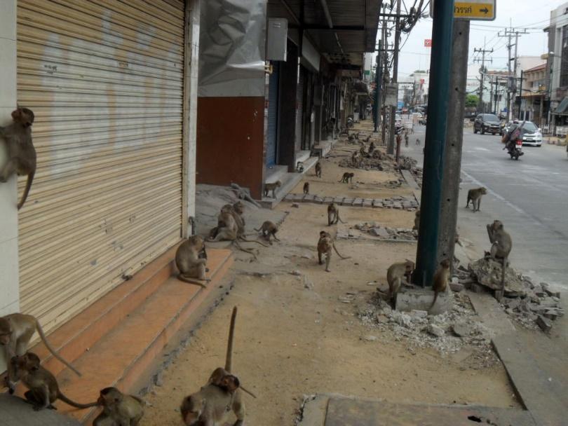 Hordes of monkeys roaming the streets in Lopbur