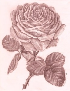 voluptuous rose drawing
