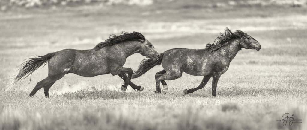 Wild Horses Fighting Onaqui Herd Beautiful Photography