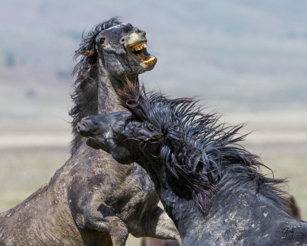 Wild Horses Fighting Onaqui Herd Photography Of Wild