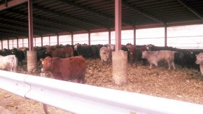 Cattle confinement operation in Iowa
