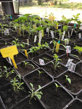 Utopaille : quelques semis