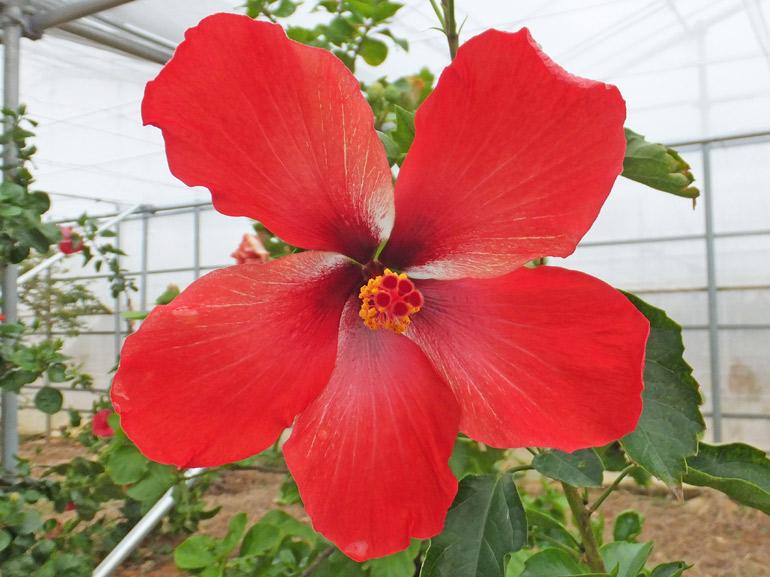 AD45・・・思わず目を止めてしまう鮮紅色、しっとりとした艶のある花びら、シンプルな花でありながら、見れば見るほど、味わい深い品種です。