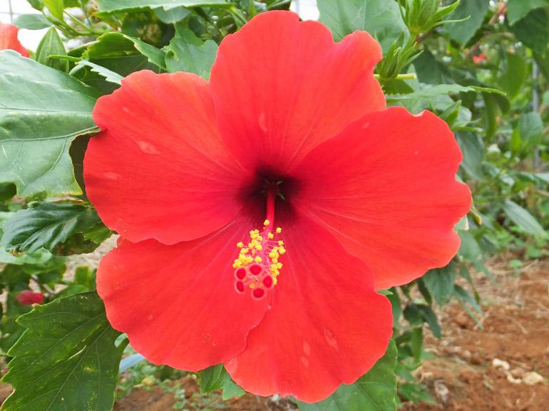 カルメンレッド・・・カルメンイエローより突然変異により出た品種です、カルメンイエローと同じ小花ですがたくさんの花を咲かせてくれます。
