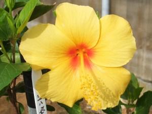 ゴールデンウィンド・・・濃い卵黄色の花弁が、目を引きます。シンプルながら、印象の強い花です。アメリカのヨダー社に専売権のある品種で、日本では夏季にホームセンター等で鉢物として販売されています。