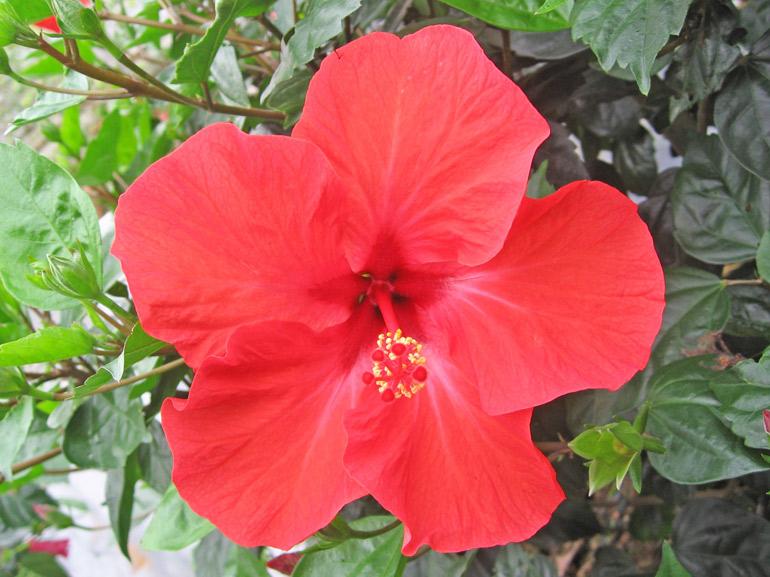 サマーレッド・・・こちらはあまり流通していない赤の品種です。日本では岐阜の生産者さんが所有・販売しています。特徴は中心の色の濃い部分が、星の形をしていることです。