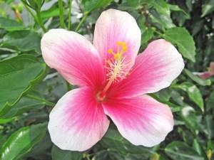 スピカ・・・別名「フィジアンホワイト」です。便宜上オールド系に大別していますが、コーラル系やフィジー系などに分類されることもあります。小ぶりで上向きの花を沢山咲かせます。