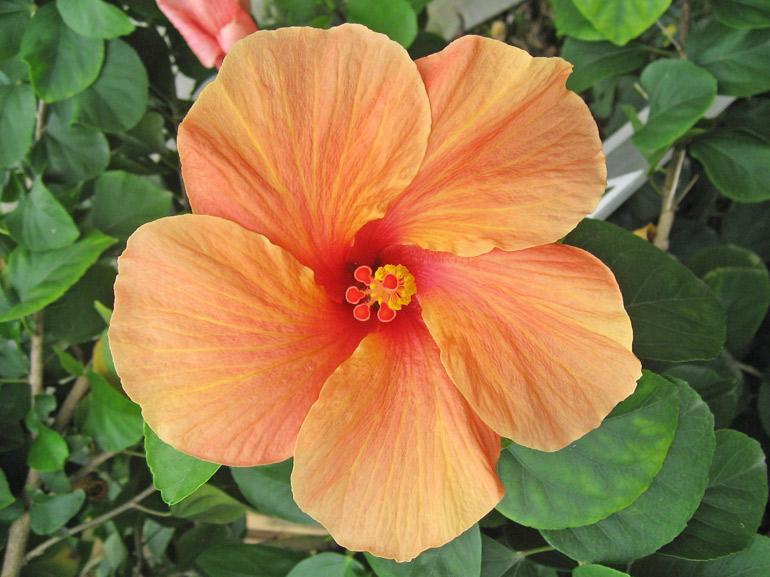 ビターオレンジ・・・オレンジの花びら1枚1枚に、濃淡のグラデーションがかかっていて、見れば見るほど、強く惹かれていくような不思議な色合いです。