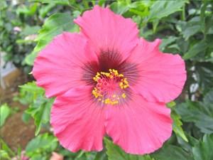 ルビーアイ・・・他の赤いハイビスカスに比べ、少し色調が異なっている鮮やかな花びらの品種です。中心の濃い部分が大きいのもルビーアイの特徴になっています。