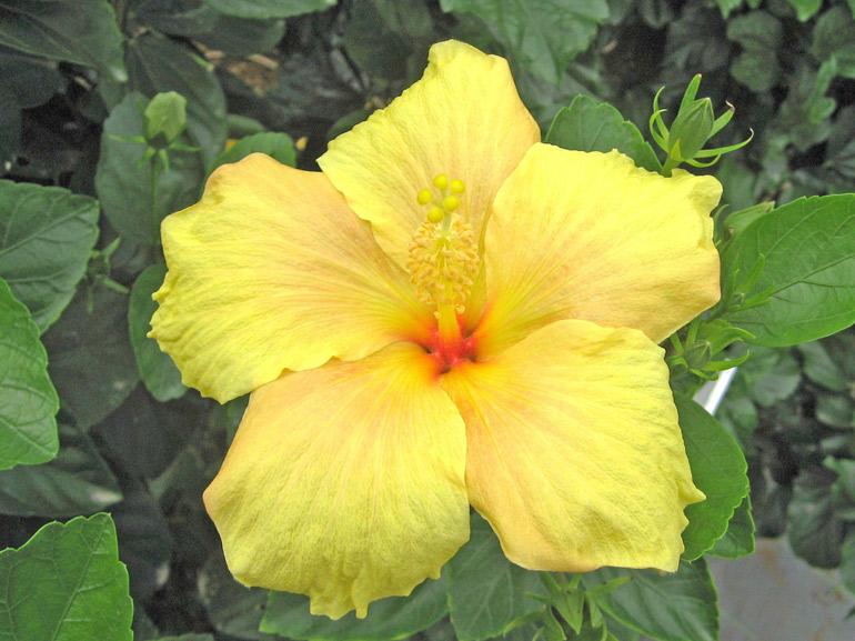 レモンチーフ・・・花サイズがやや大きめなので「レモンの主任」的な意味で命名したのではないでしょうか。すぐ右側の「ゴールデンイエロー」と激似です。どこが違っているか分かりますか?