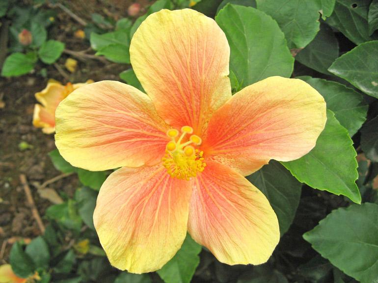 月華・・・別名「キューティーイエロー」とも呼ばれ、沖縄では古くから親しまれてきた品種の一つです。特に八重山地方の島々では、よく道端などで見ることが出来ます。