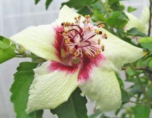 インスラリス・・・オーストラリア東海岸のはるか沖合、絶海の孤島ノーフォーク原産「世界で最も貴重なハイビスカス」。他品種との交配は不可、沖縄での開花は冬のみに限られています。