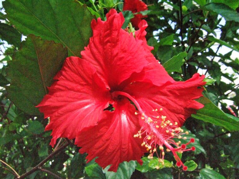 ブッソウゲ・・・最も有名なハイビスカスでありながら、原種なのか交配なのか分からない謎に満ちた品種です。漢字では「仏桑花」と書き、沖縄では「アカバナ」と呼ばれています。