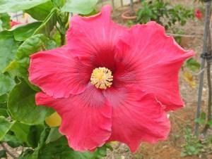 AD637-4・・・赤ピンク色の花びらに、中心は濃ピンク、とても鮮やかな品種です。ハイビスカス園にある品種「ルビーアイ」に似ています。大人の女性を思わせるハイビスカスですね。