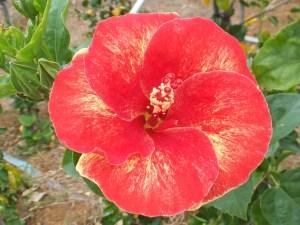 アリウィ・・・りんごのように丸い花弁に、金粉をまぶしたようなユニークな品種です。アリウィとは、ハワイ語で「高貴な人」をあらわす名前です。
