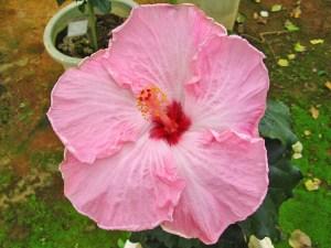 アリスウォルフ・・・アメリカからの品種で、優しいピンク色の花びらが特徴的な超大型ハイビスカスのひとつです。エッジに向けて広がる白い筋もまた美しさを一層引き立てていますね。