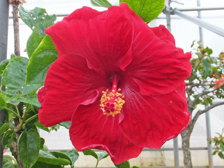 カタブキ・・・迫力ある深紅の花を、次々と咲かせてくれます。ややエッジにカールがかかっているのが特徴です。まさに真夏というイメージがピッタリの花ですね。