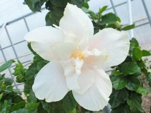 キャッスルホワイト・・・大きなクシャクシャとした白い花びら、中心にはほのかなピンク色がのる八重のハイビスカスです。命名にもあるとおり、巨大な白城のようですね。